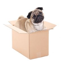 pug dog sitting in brown carton box isolated on white background